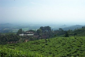 kebun teh jamus